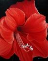 Amaryllis Lily